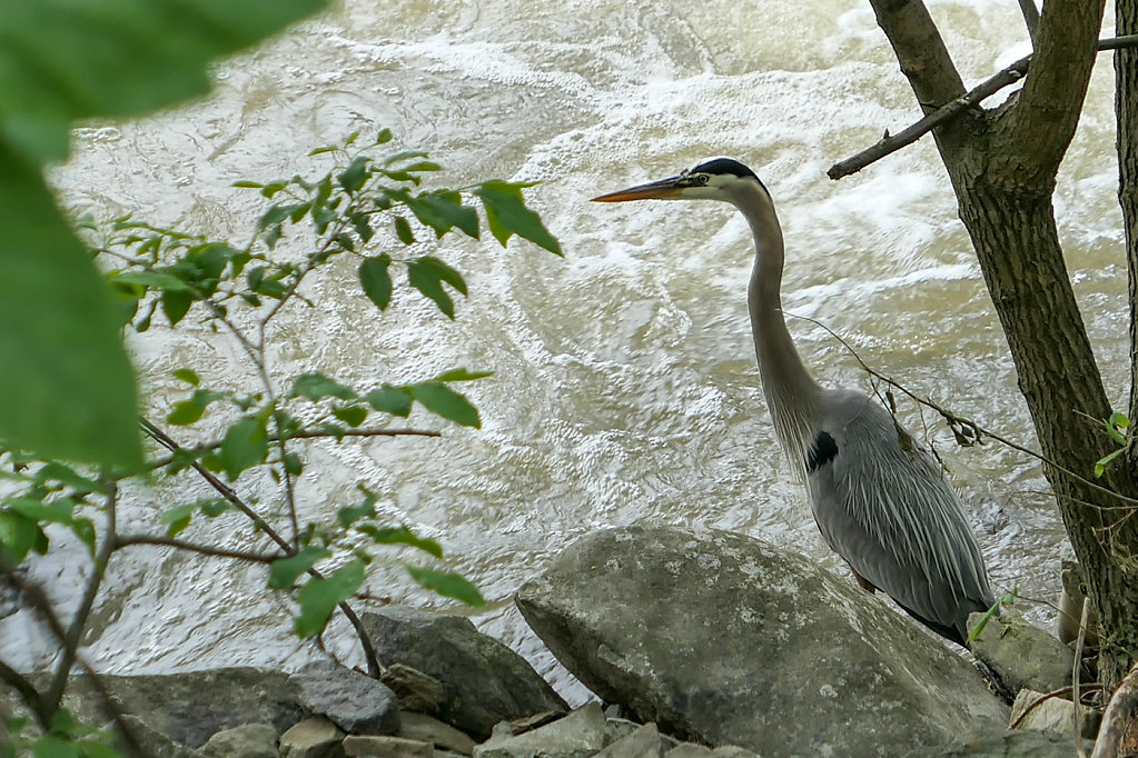 Blue Heron, MD