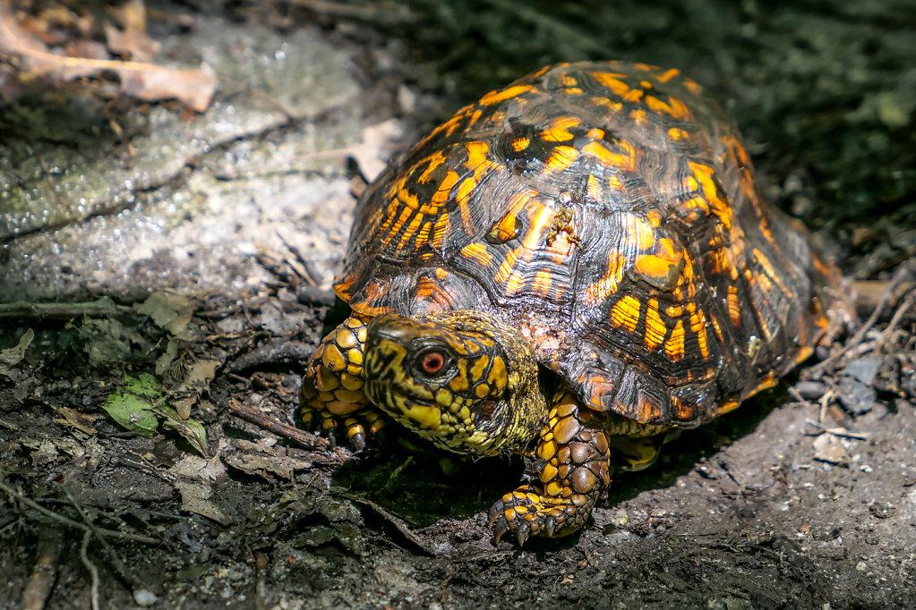 Box Turtle, PA