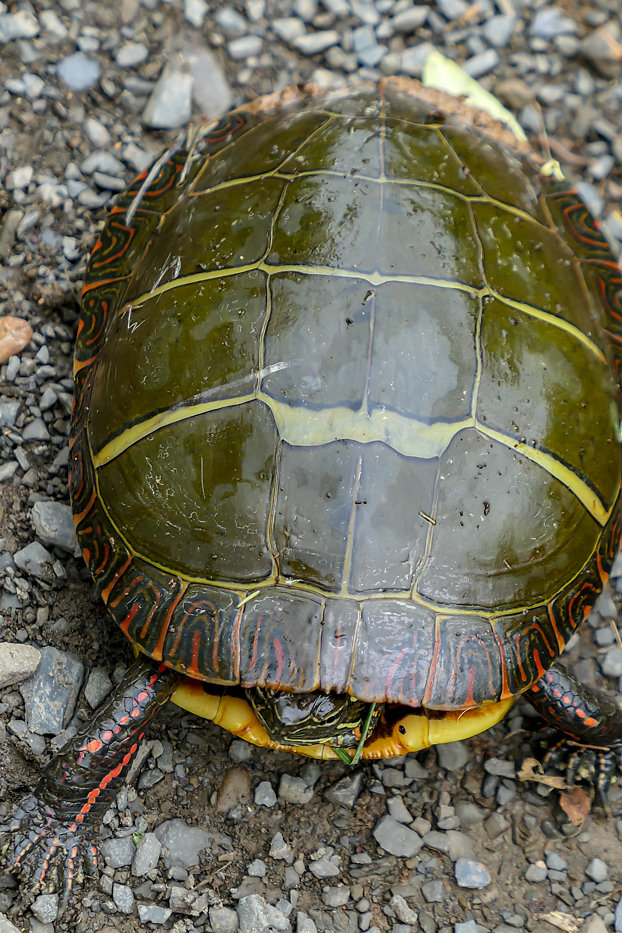 Eastern Painted Turtle, PA