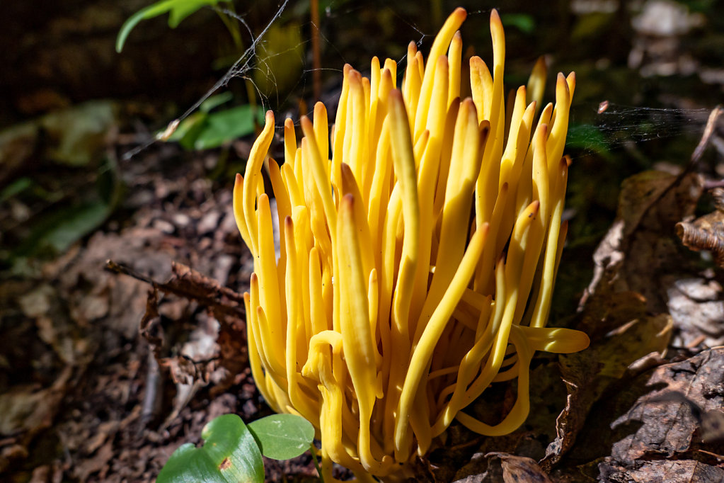 Staghorn Fungus